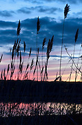 Common reeds (Phragmites australis) in a saltwater marsh in Niantic Connecticut, USA, silhouetted against a dramatic sky just after sunset in the late spring, with pink and purple reflections in the water, May 2013.