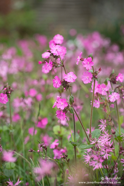 Red campion (Silene dioica syn. Melandrium rubrum) growing with Ragged robin (Lychnis flos-cuculi) in the wildflower turf meadow at Perch Hill