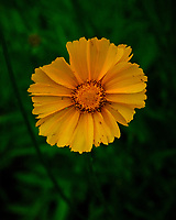 Lance-leaf Coreopsis. Image taken with a Fuji X-T3 camera and 80 mm f/2.8 OIS macro lens