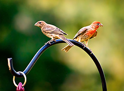 I took this shot of the male and female House Finch just hanging out in my front yard. <br /> <br /> The House Finch is a bird in the finch family Fringillidae, which is found in North America. Adults have a long, square-tipped brown tail and are a brown or dull-brown color across the back with some shading into deep gray on the wing feathers. Breast and belly feathers may be streaked; the flanks usually are.