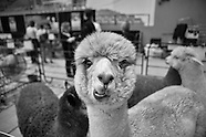 2013-4-27-Alpaca Festival