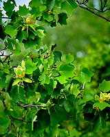 Tulip Tree flowers. Image taken with a Fuji X-T2 camera and 100-400 mm OIS lens.