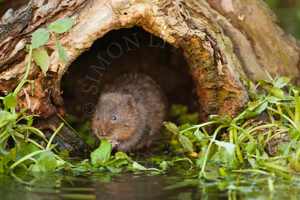 Water Vole (Arvicola terrestris) adult in hollow log, Norfolk, UK.