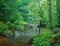 Mountain laurel along Dodds Creek.
