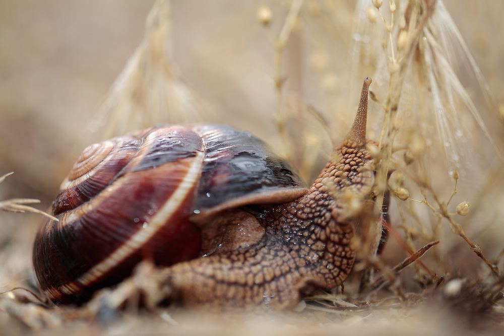 Turkish snail, or Balkan edible snail, Helix lucorum (Gastropoda, Pulmonata, Helicidae). <br /> Stenje region, Lake Macro Prespa (850m) <br /> Galicica National Park, Macedonia, June 2009<br /> Mission: Macedonia, Lake Macro Prespa /  Lake Ohrid, Transnational Park<br /> David Maitland / Wild Wonders of Europe