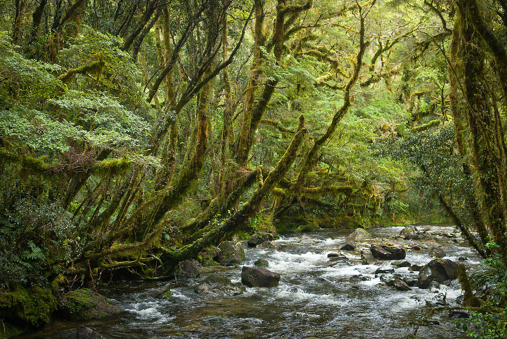 Fast-flowing water descends Camp Oven Creek beneath moss-laden boughs of beech and kamahi, Milfrod Track, New Zealand