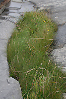 Grass growing between limestone rock on Inis Oirr the Aran Islands Galway Ireland