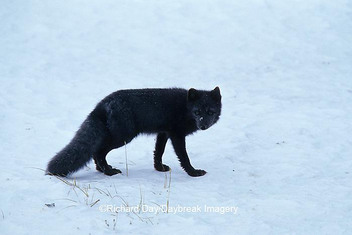 "01863-01018 Arctic Fox (Alopex lagopus) ""Blue Phase"" Churchill MB Canada"