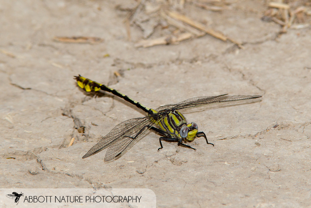 Tamaulipan Clubtail (Gomphurus gonzalezi) - male<br /> TEXAS: Hidalgo Co.<br /> Property of M. Rhodes along Rio Grande; Mission, 4.1 mi SW<br /> 10-Mar-2013  26.16967 -98.36765 <br /> J.C. Abbott #2643 &amp; K.K. Abbott