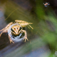 A common frog (Rana temporaria), or European common frog hiding at the bottom of a small pond. Vanlig groda<br /> Location: Blentarp, Sk&aring;ne, Sweden