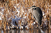On a cold February morning a Great Blue Heron rests on the ice up against the reeds warming in the sun.