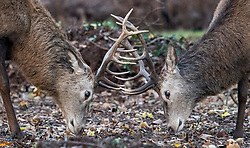 © Licensed to London News Pictures. 30/11/2017. London, UK. Deer stag rutting in sub zero temperatures at Richmond Park, London at sunrise on November 30, 2017 as a drop in temperatures hits the UK in the last day of Autumn. Photo credit: Ben Cawthra/LNP