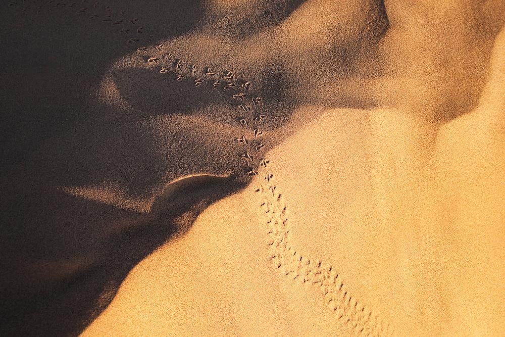 Beetle (carabaeous) track in desert sand, Sahara desert, Morocco.