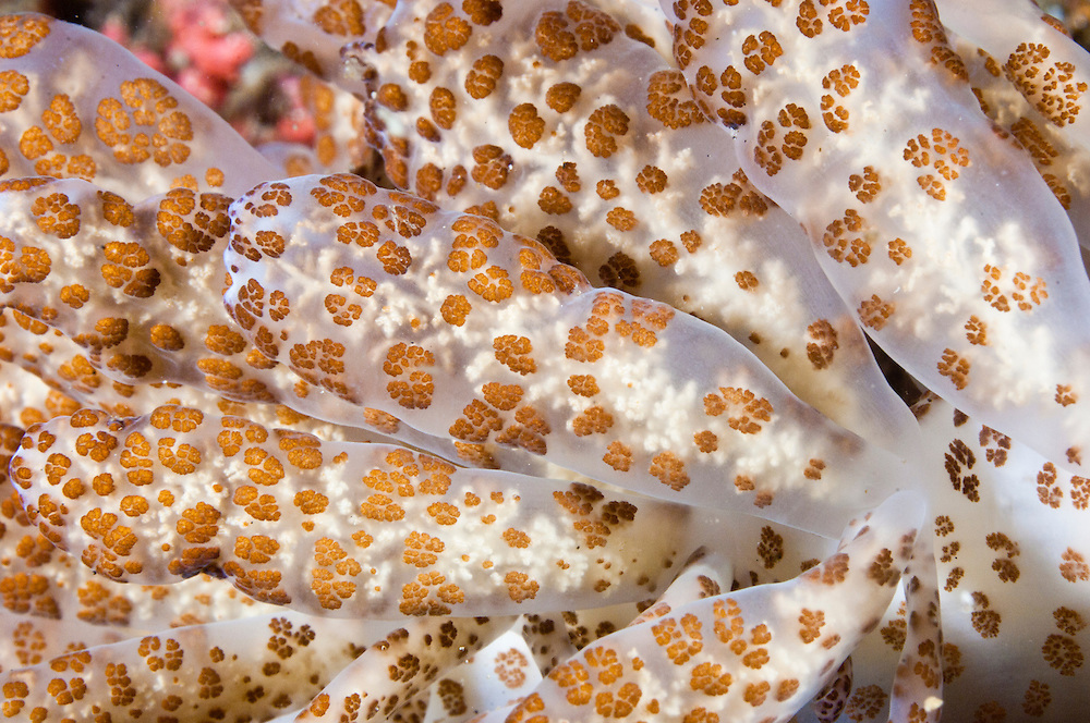 The 'solar powered' nudibranchs have a symbiotic relaltionship with zooxanthellae that are stored in the cerata and use photosynthesis to generate food for themselves and their host. The Lembeh Strait in N Sulawesi is famous for its unusually high marine biodiversity, particularly of unusual animals that live on the exposed sand areas.