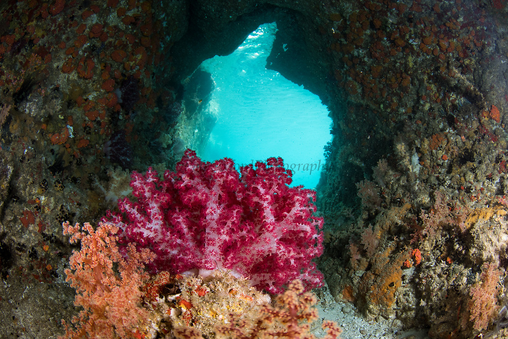 Soft Coral (Nephthea sp)<br /> Raja Ampat<br /> West Papua<br /> Indonesia