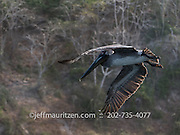 A brown pelican takes flight from Bona Island, located in the Bay of Panama.