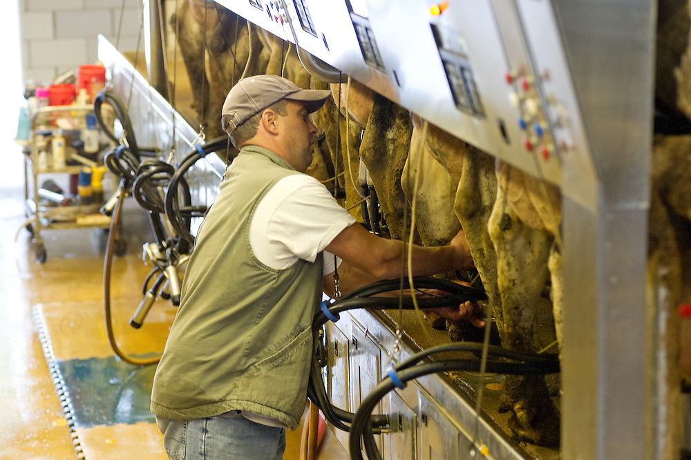 Dairy farmer attaching milking equipment to utters of a dairy cow