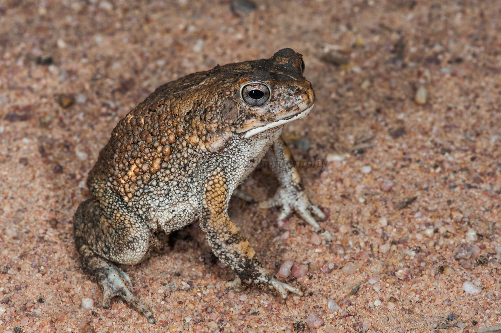 Flat-backed toad (Amietophrynus skurwepadda)<br /> Marataba, A section of the Marakele National Park, Waterberg Biosphere Reserve<br /> Limpopo Province<br /> SOUTH AFRICA<br /> HABITAT & RANGE: Shallow, static or slow-moving water in grassland and savanna