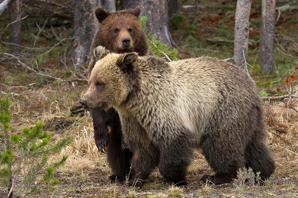 These two-year-old grizzly bear siblings couldn't be any more different in color and appearance. This is probably due to the fact that their mother mated with more than one male during breeding season, producing cubs each with a different father.