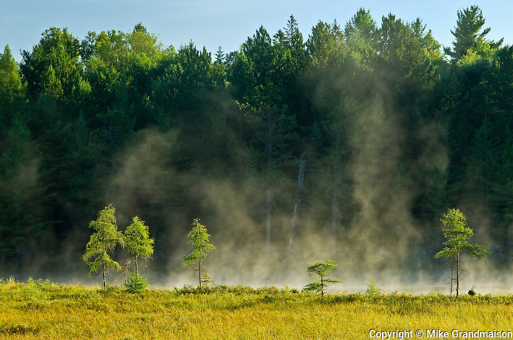 Small larch trees in morning fog<br /> Algonquin Provincial Park<br /> Ontario<br /> Canada