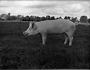 12/09/1960<br /> 09/12/1960<br /> 12 September 1960<br /> Boars at Whitehall, Drumcondra for the Department of Agriculture. Boar No. 1397.