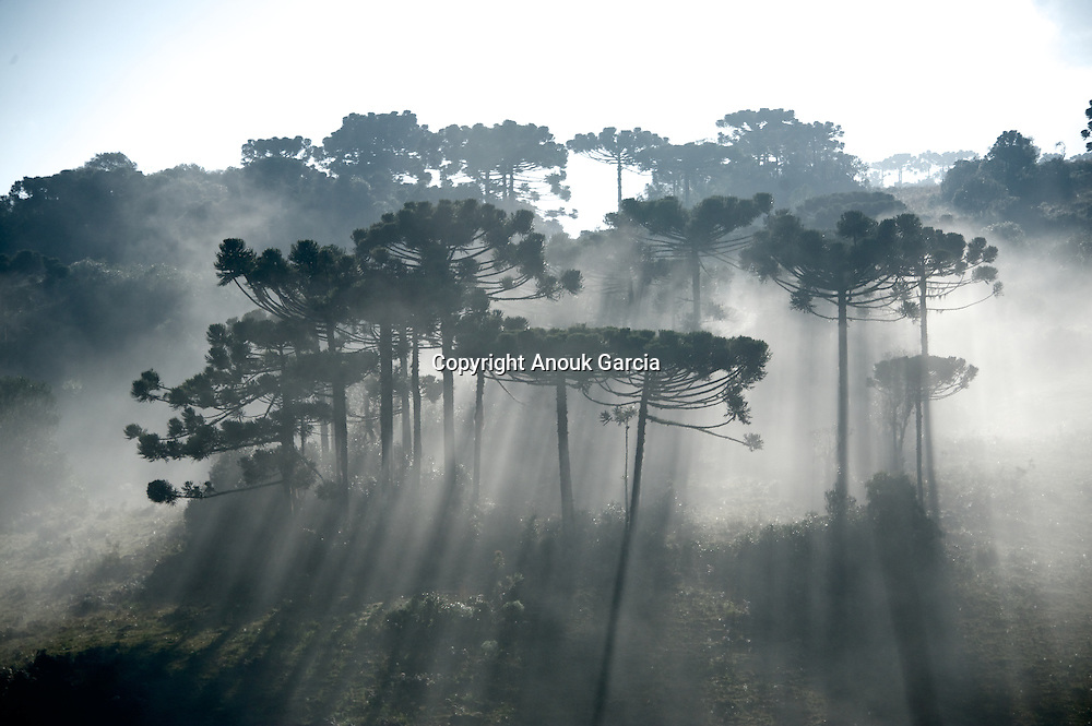 Forêt d'araucara, arbre endémique unique dans cette région du Brésil