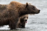 A brown bear cub peaks out from behind his mother as she fishes for salmon at the McNeil River State Game Sanctuary on the Kenai Peninsula, Alaska. The remote site is accessed only with a special permit and is the world's largest seasonal population of brown bears in their natural environment.