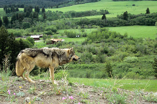 Gray Wolf, (Canis lupus) Adult overlooking ranch in Southwest Montana.  Captive Animal.