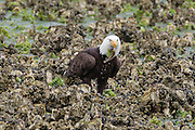 A bald eagle (Haliaeetus leucocephalus) pulls a midshipman fish out of the oyster beds in the Hood Canal, Washington. Hundreds of bald eagles congregate in the area near the town of Seabeck in the early summer to feast on the migrating fish, which gets trapped in the oyster beds during low tides.