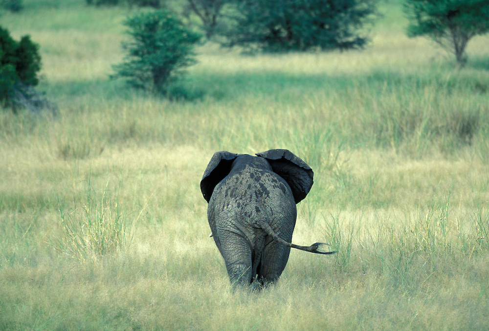 South Africa, Kruger National Park, Elephant walks through tall grass (Loxodonta africana)