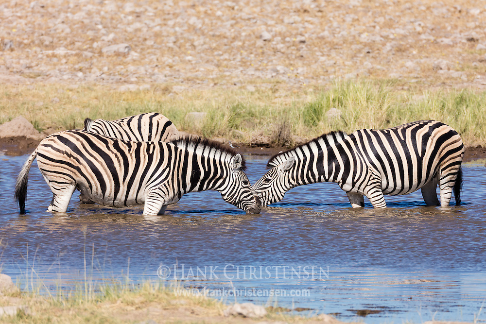 Two plains zebra drink in a waterhole, face to face, Etosha National Park, Namibia.