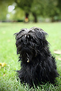 This is Myrtle, a young Affenpinscher (monkey dog).