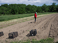 Harmony Farm, Goshen, NY  - planting potatoes