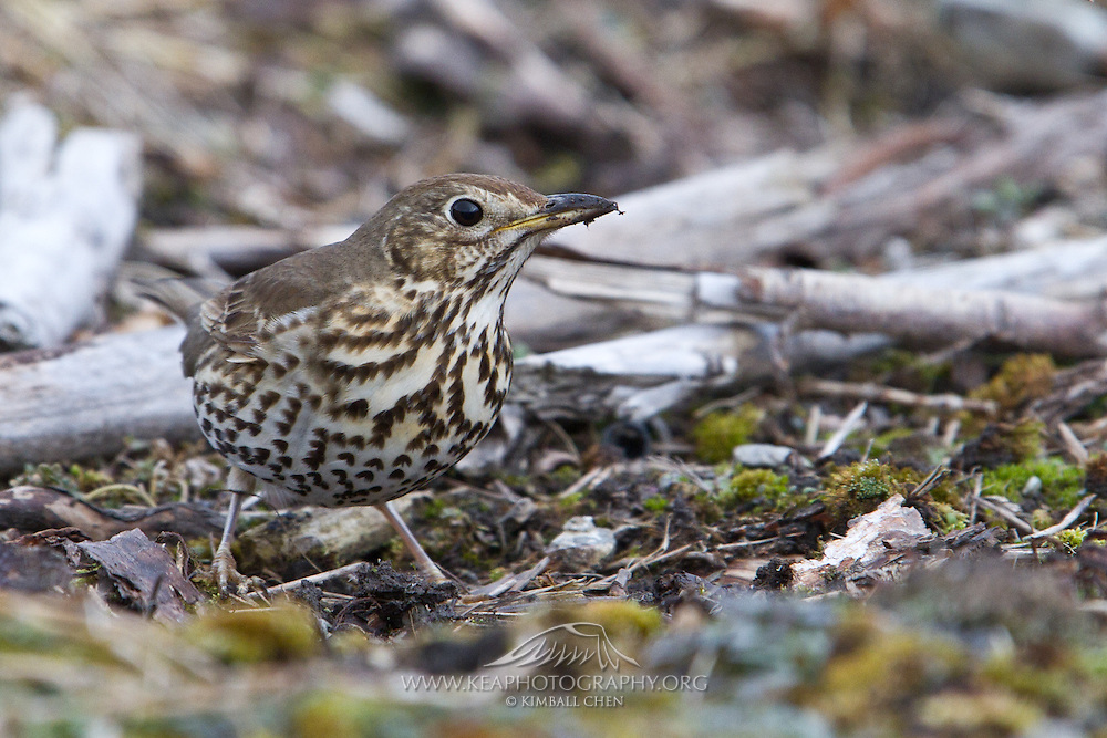 Song Thrush, New Zealand