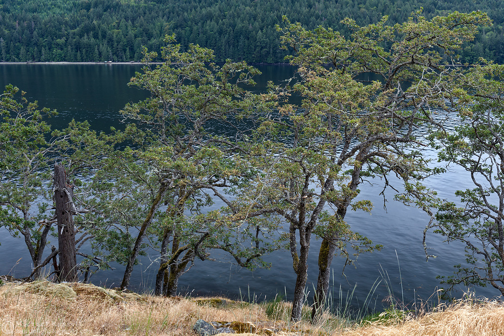 Garry Oaks (Quercus garryana) growing along the shoreline at Burgoyne Bay. Photographed from Daffodil Point in Burgoyne Bay Provincial Park on Salt Spring Island, British Columbia, Canada