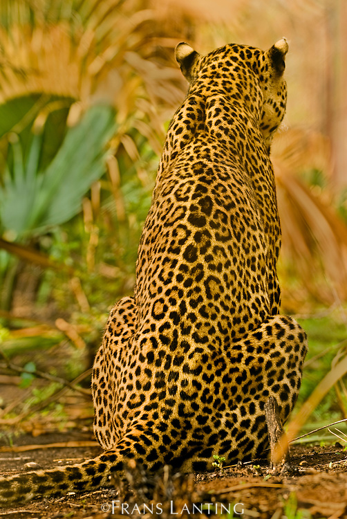 Leopard rear view, Panthera pardus, Niokolo-Koba National Park, Senegal