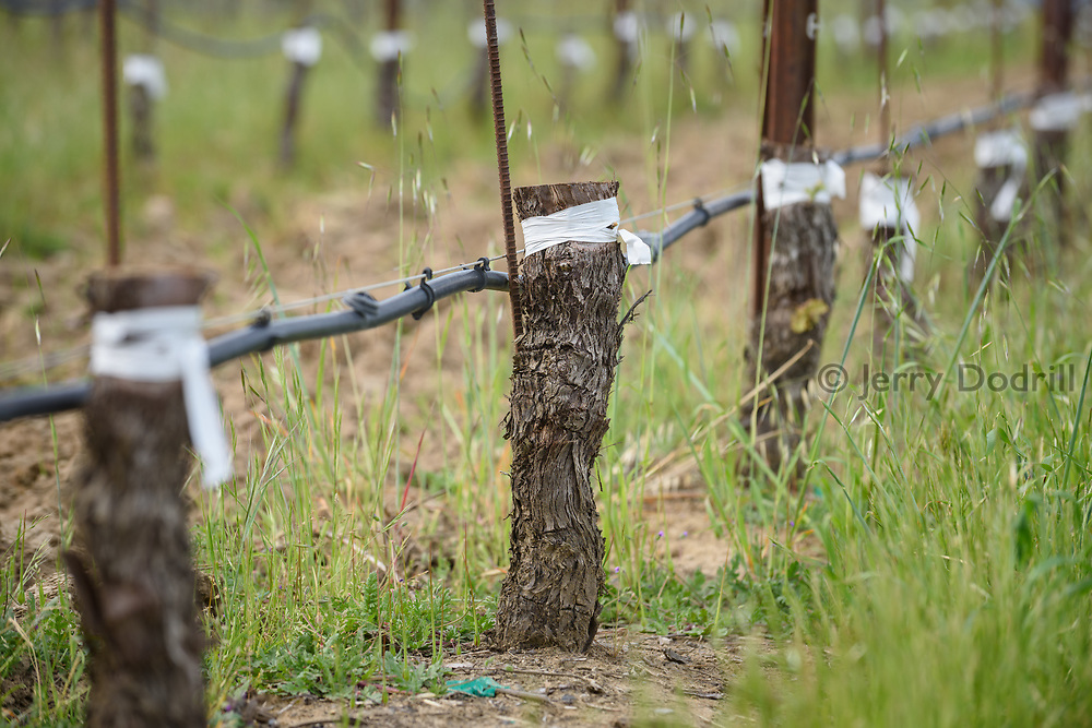 Pinot Noir clones grafted onto older Chardonnay root stock, Square Peg Winery, Sebastopol, California
