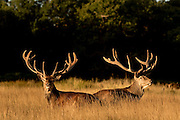 UNITED KINGDOM, London: 04 August 2015 Fallow deer take a rest in the early morning sun in Richmond Park this morning. Rick Findler / Story Picture Agency
