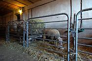 17/03/05 - BEAUBERY - SAONE ET LOIRE - FRANCE - Cases d agnelages. EARL BAJARD. Selectionneur Charolais - Photo Jerome CHABANNE
