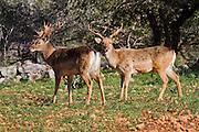Male Mesopotamian (Persian) Fallow Deer (Dama dama Mesopotamica) Photographed in Israel, Carmel Mountain in winter