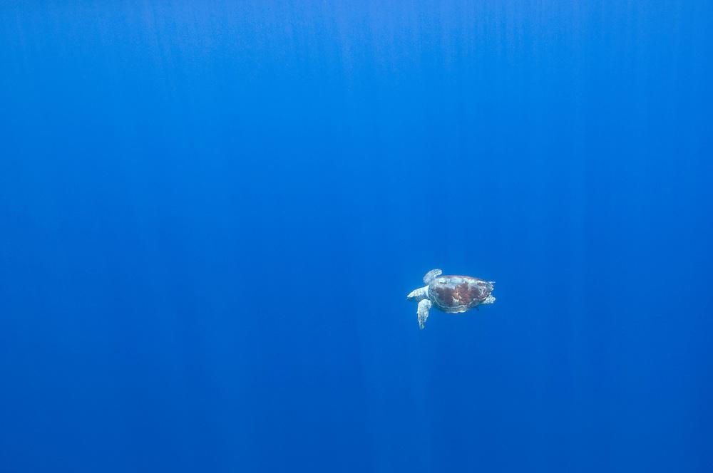 Loggerhead turtle, Caretta caretta, in the big blue, Pico, Azores, Portugal