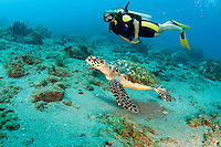 A female diver swims with Loggerhead turtle, St. Lucia