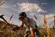 Volunteers and staff at Saguaro National Park East remove buffelgrass, a non-native plant which threatens the Sonoran Desert, in Tucson, Arizona, USA.