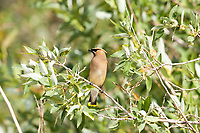 An Adult Cedar Waxwing in the middle of July its young have been out of the nest for a few weeks now.