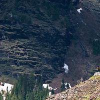 grizzly on a ridge glacier park