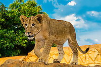 4 month old lion cub, Lion Park, near Johannesburg, South Africa.