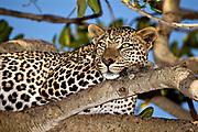 A Leopard (Panthera pardus) in a Fig-tree in Serengeti, Tanzania.