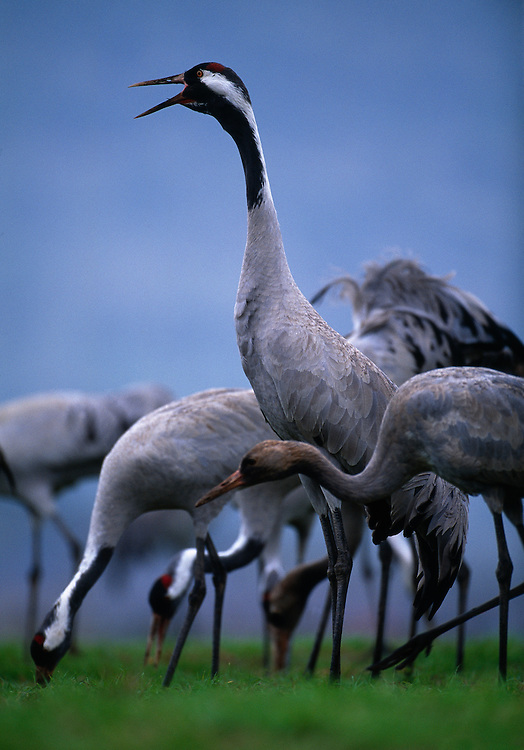 Calling European crane on wintering grounds, Lake Agmon, Hula Valley, Israel