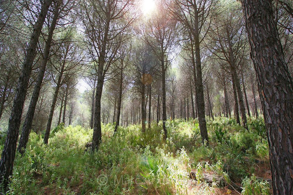 Coastal pine forest, Costa del Sol, Spain