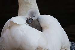 © Licensed to London News Pictures. 10/04/2016. London, UK. A swan cygnet rides on its mothers back in an urban canal in Wapping, east London during sunny spring weather this morning. The swan cygnet is one of the first to hatch in London this year.  Photo credit : Vickie Flores/LNP